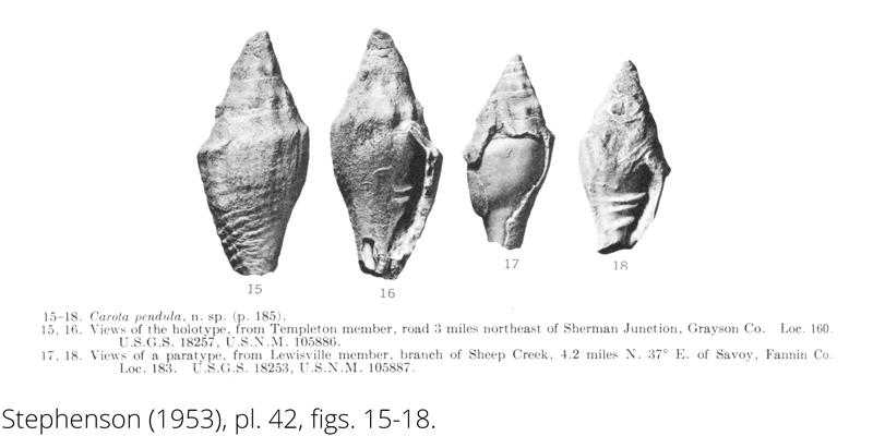 <i> Carota pendula </i> from the Cenomanian Woodbine Fm. of Texas (Stephenson 1953).