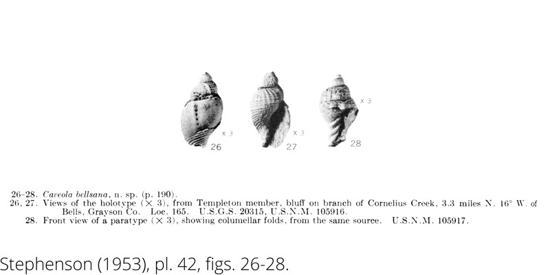 <i> Caveola bellsana </i> from the Cenomanain Woodbine Fm. of Texas (Stephenson 1953).