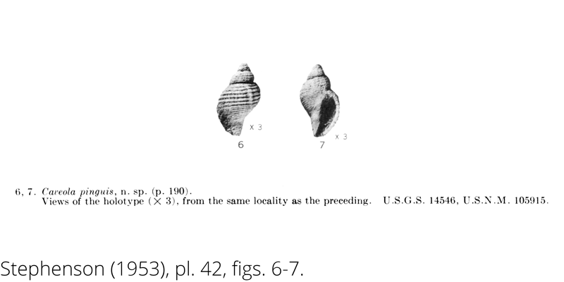 <i> Caveola pinguis </i> from the Cenomanian Woodbine Fm. of Texas (Stephenson 1953).