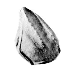 Cenomanocarcinus vanstraeleni