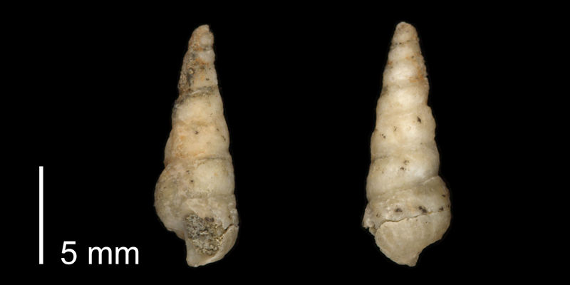 <i> Cerithium interlineatum </i> from the Late Cretaceous Cross Timbers Fm. of Denton County, Texas (UT 37364a).