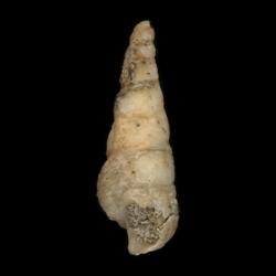 Cerithium interlineatum
