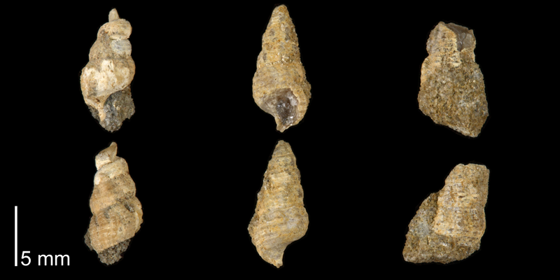 <i> Cerithium interlineatum </i> from the Late Cretaceous Cross Timbers Fm. of Denton County, Texas (UT 37364b).