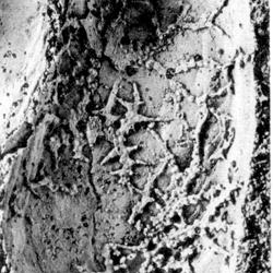 Cliona retiformis