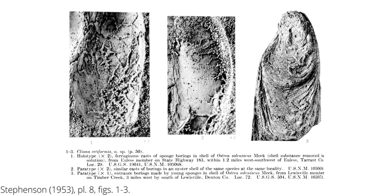 <i> Cliona retiformis </i> from the Cenomanian Woodbine Fm. of Texas (Stephenson 1953).