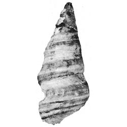Craginia turriformis