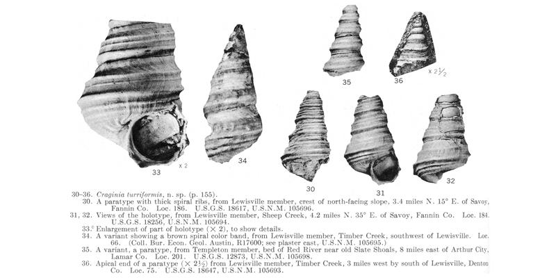 <i> Craginia turriformis </i> from the Cenomanian Woodbine Fm. of Texas (Stephenson 1953).