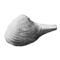 Poromyida