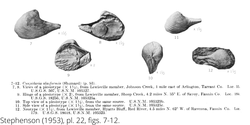 <i> Cuspidaria alaeformis </i> from the Cenomanian Woodbine Fm. of Texas (Stephenson 1953).