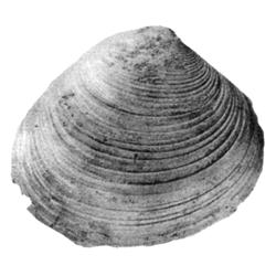 Cyclorisma orbiculata