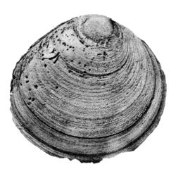 Cyprimeria patella