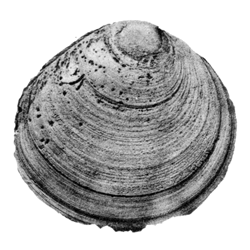Cyprimeria