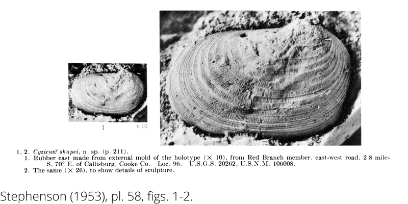 Rubber cast of <i> Cyzicus shupei </i> from the Cenomanian Woodbine Fm. of Texas (Stephenson 1953).