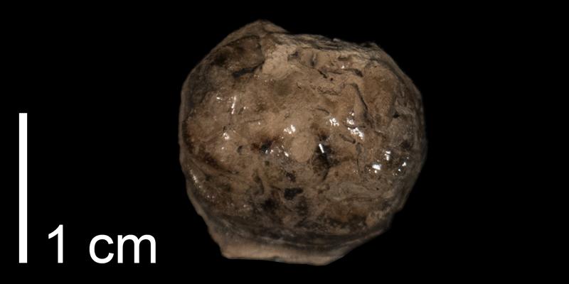 <i> Dakoticancer overanus </i> (FHSMIP 1263).