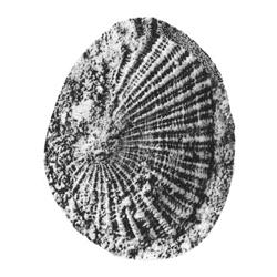 Diadora bartonvillensis