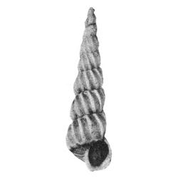 Epitoniidae