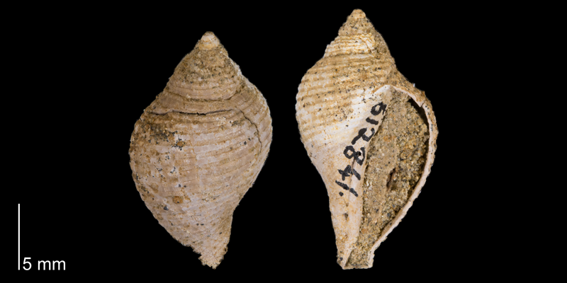 <i> Fasciolaria buccinoides </i> from the Maastrichtian Fox Hills Fm. of Corson County, South Dakota (YPM 612841).