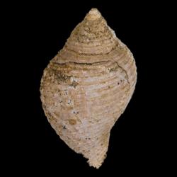 Fasciolaria buccinoides