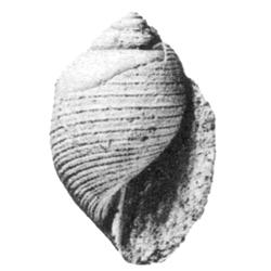 Fictoacteon alveolanus