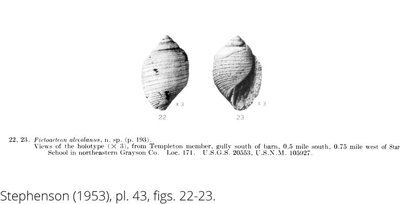 <i> Fictoacteon alveolanus </i> from the Cenomanian Woodbine Fm. of Texas (Stephenson 1953).