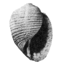 Fictoacteon humilispira