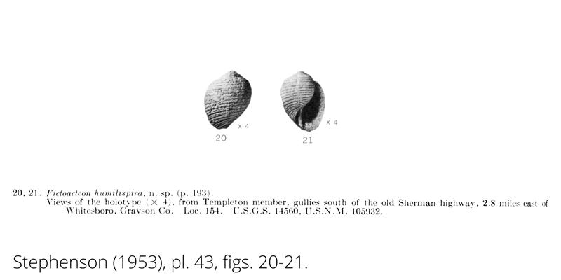 <i> Fictoacteon humilispira </i> from the Cenomanian Woodbine Fm. of Texas (Stephenson 1953).