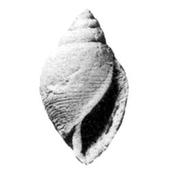 Fictoacteon imlayi