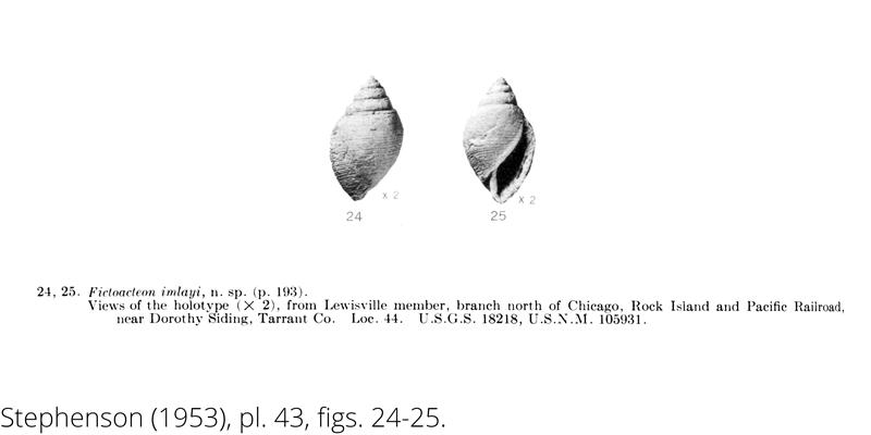 <i> Fictoacteon imlayi </i> from the Cenomanian Woodbine Fm. of Texas (Stephenson 1953).