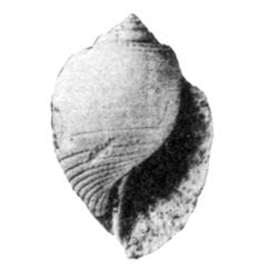 Fictoacteon paucistriae