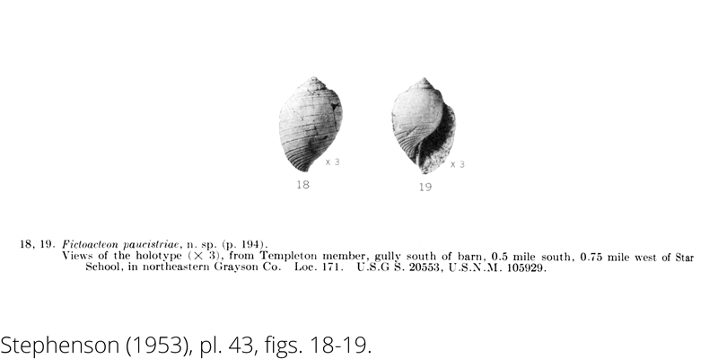 <i> Fictoacteon paucistriae </i> from the Cenomanian Woodbine Fm. of Texas (Stephenson 1953).