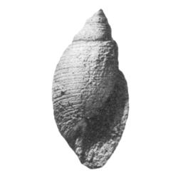 Fictoacteon saxanus