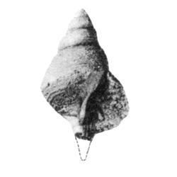 Fusinus cornelianus