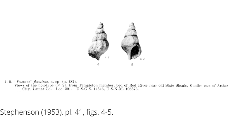 <i> Fusinus fluminis </i> from the Cenomanian Woodbine Fm. of Texas (Stephenson 1953).