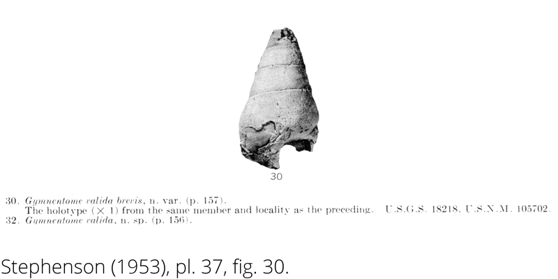 <i> Gymnentome valida brevis </i> from the Cenomanian Woodbine Fm. of Texas (Stephenson 1953).