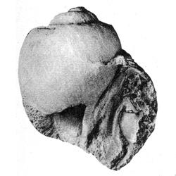 Gyrodes
