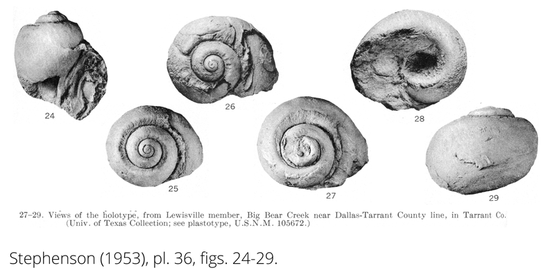 <i> Gyrodes tramitensis </i> from the Cenomanian Woodbine Fm. of Texas (Stephenson 1953).