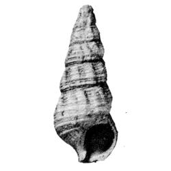 Hemicerithium interlineatum