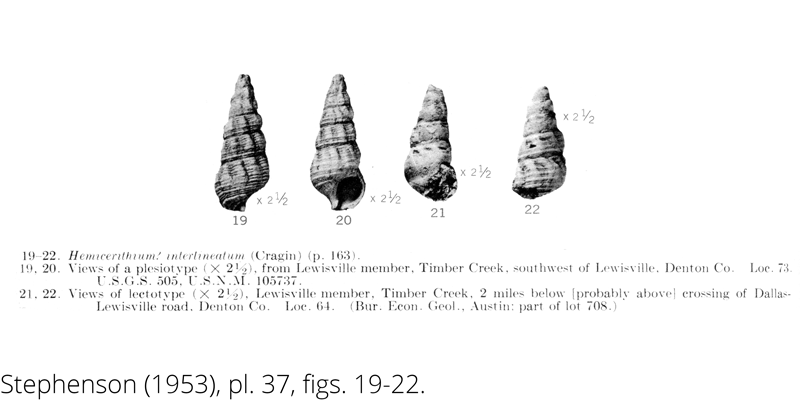 <i> Hemicerithium interlineatum </i> from the Cenomanian Woodbine Fm. of Texas (Stephenson 1953).
