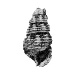 Hemicerithium insigne