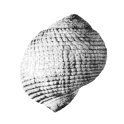Sarganidae
