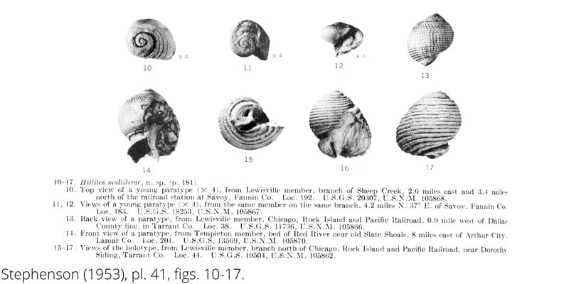 <i> Hillites multilirae </i> from the Cenomanian Woodbine Fm. of Texas (Stephenson 1953).