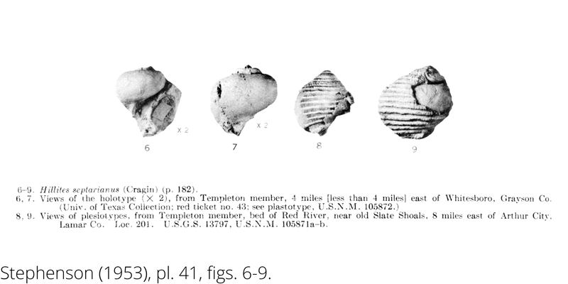 <i> Hillites septarianus </i> from the Cenomanian Woodbine Fm. of Texas (Stephenson 1953).