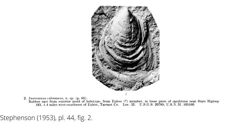 <i> Inoceramus eulessanus </i> from the Cenomanian Woodbine Fm. of Texas (Stephenson 1953).