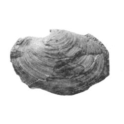 Laternula gemmea
