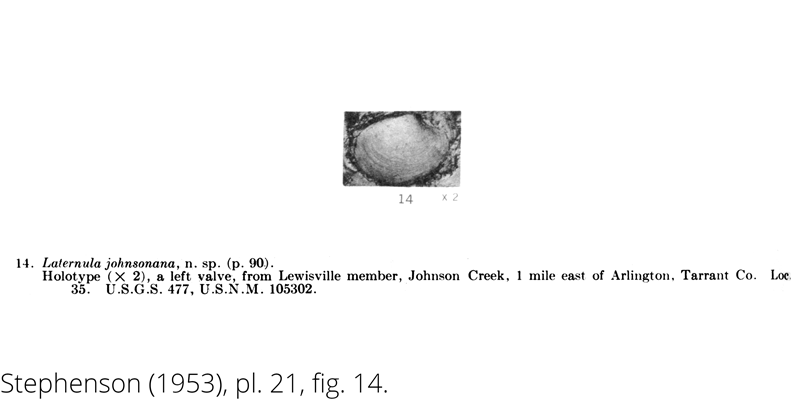 <i> Laternula johnsonana </i> from the Cenomanian Woodbine Fm. of Texas (Stephenson 1953).
