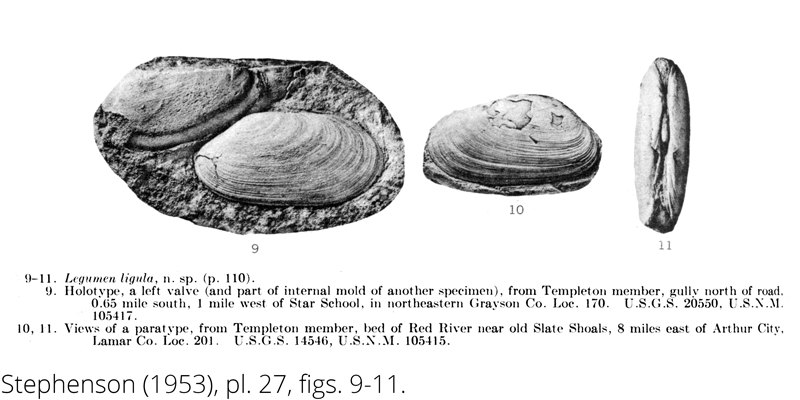 <i> Legumen ligula </i> from the Cenomanian Woodbine Fm. of Texas (Stephenson 1953).