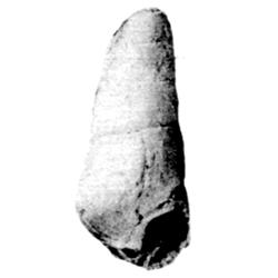Levicerithium altum