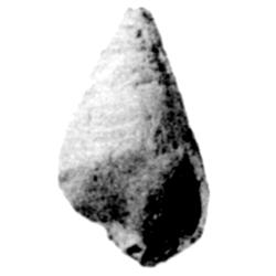 Levicerithium breviforme