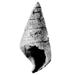 Levicerithium planum