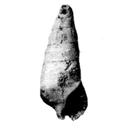 Levicerithium subaltum